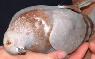 Болезнь ветрячка у голубей: симптомы и лечение