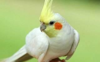 Все о попугаях корелла