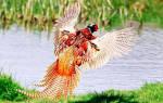 Какие существуют породы фазанов
