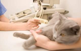 Сколько носят кошки во время беременности