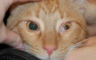 Распространенные болезни глаз у кошек
