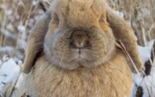 Содержание кроликов зимой: полезные советы