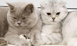 Цвет глаз у кошек шотландской породы