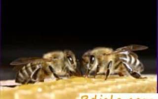 Каменный расплод пчел: признаки и лечение
