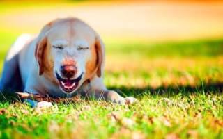 Почему собака чихает