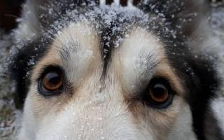 Почему у щенка перхоть