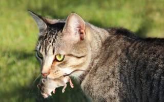 Какие по характеру коты крысоловы