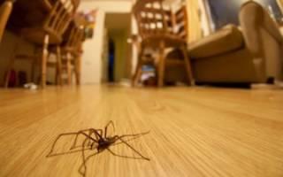 Черные домашние пауки