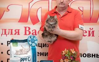 Кормление котят курильского бобтейла