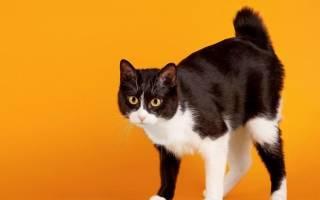 Японские породы кошек: какого ухода они требуют