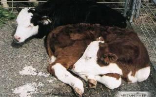 Белый понос у теленка: что делать