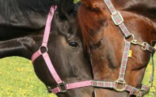 Случная болезнь лошадей: симптомы, лечение