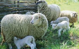 Овцеводство в домашних условиях: необходимое оборудование