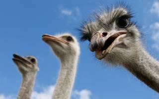 Разведение страусов в Сибири