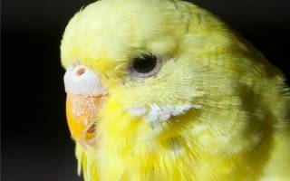 Почему у волнистого попугая слоится клюв