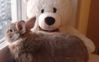 Декоративные кролики пушистые: описание