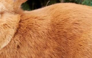 Породы кроликов: рыжий кролик