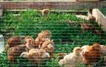 Как сделать загон для цыплят