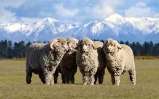 Овцы мериносы: советский меринос