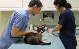 Реабилитация кота после процедуры кастрации