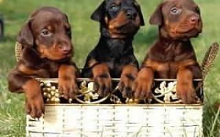 Как выбрать щенка добермана