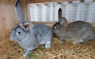 Кролики ризен: разведение и содержание