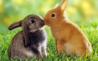 Болячки в ушах у кроликов: симптомы, лечение