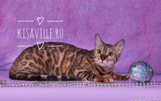 Бенгальская кошка: характер