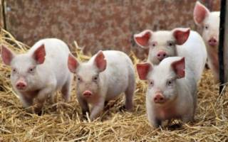 Температура у свиней: нормы