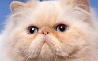 Королевская кошка: ее внешность и характер
