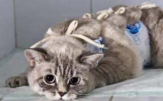 Стерилизация кошек во время течки: какие существуют опасности