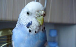 Болезни клюва у волнистых попугаев