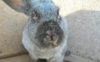 Максиматоз у кроликов: первые признаки