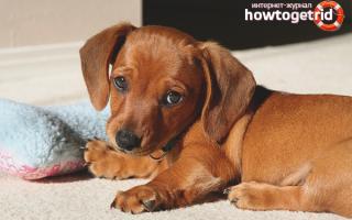 Как повысить иммунитет у собаки