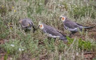 Попугай корелла: кормление