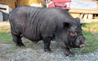 Вьетнамская черная свинья
