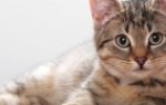 Как лечить мастопатию у кошек