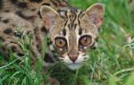Порода кошек, похожая на леопарда