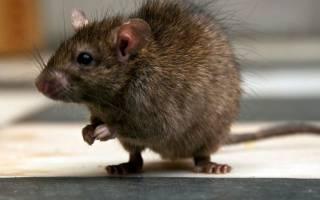Продолжительность жизни домашних крыс