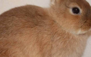 Нужно ли стричь когти кролика