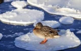 Условия содержания уток зимой