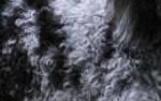 Абрикосовый пудель