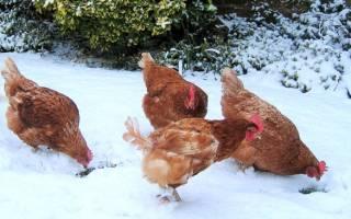 Куры несушки: содержание и уход зимой